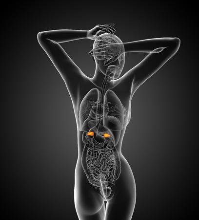 uretra: 3d ilustración médica de la suprarrenal - vista posterior