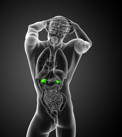 glands: 3d render medical illustration of the human adrenal glands - back view