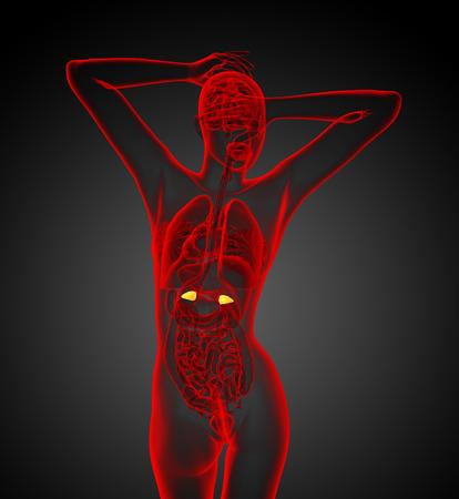 adrenal: 3d render medical illustration of the human adrenal glands - back view