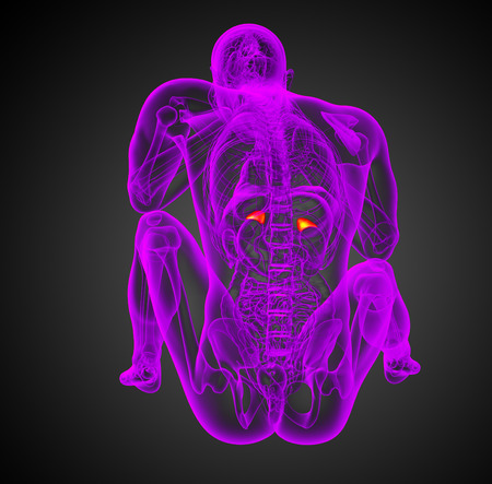 adrenal: 3d render illustration of the human adrenal - back view