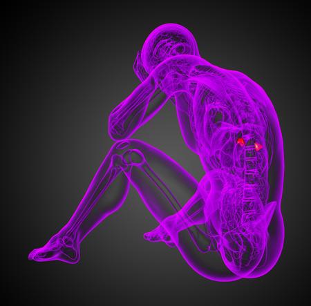 adrenal: 3d render illustration of the human adrenal - side view