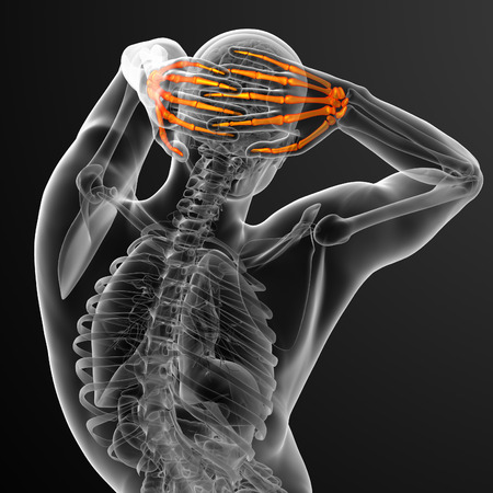 phalanx: 3d render illustration of the skeleton hand - back view