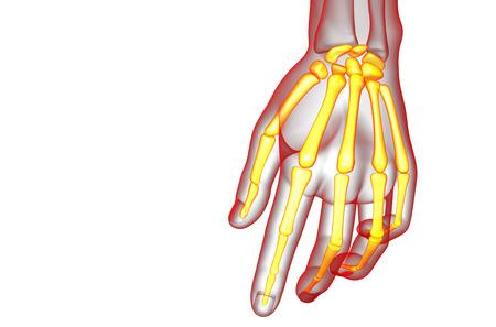 skeleton hand: 3d render illustration of the skeleton hand - front view