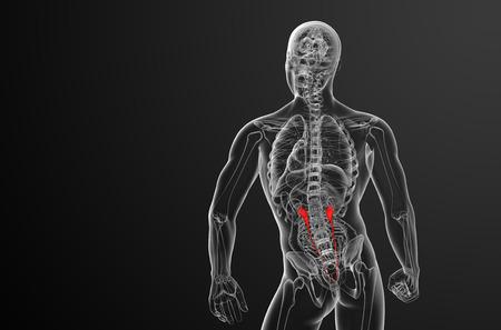 ureter: 3d render medical illustration of the ureter - back view
