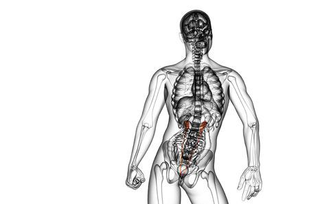 ureter: 3d render medical illustration of the ureter - front view