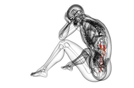 ureter: 3d render medical illustration of the ureter - side view