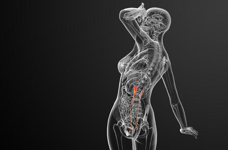 physiology: 3d render medical illustration of the ureter - side view