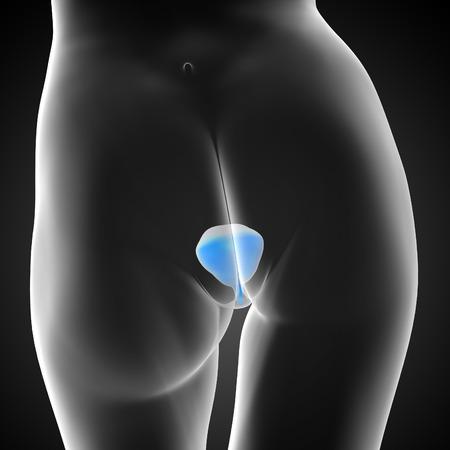uric: 3d render medical illustration of the bladder - back view Stock Photo