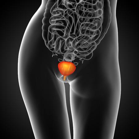 uric: 3d render medical illustration of the bladder - front view