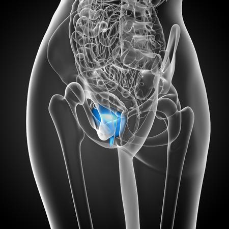 uric: 3d render medical illustration of the bladder - side view