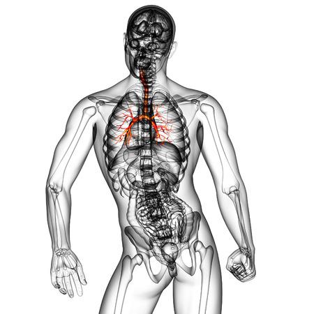 bronchi: 3D medical illustration of the male bronchi - back view
