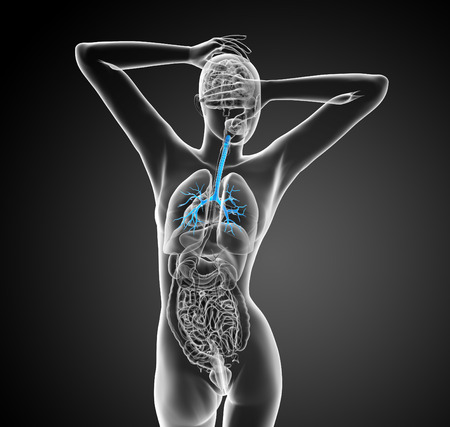 bronchiole: 3D medical illustration of the male bronchi - back view