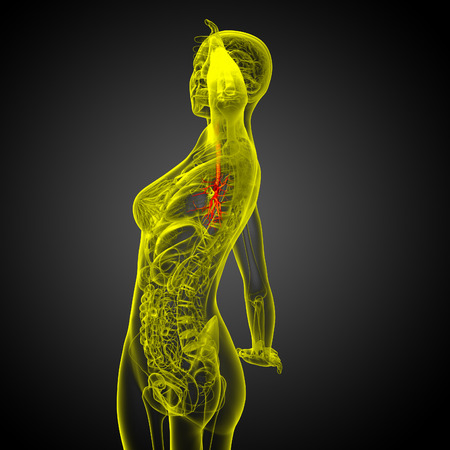 lobes: 3D medical illustration of the male bronchi - side view Stock Photo