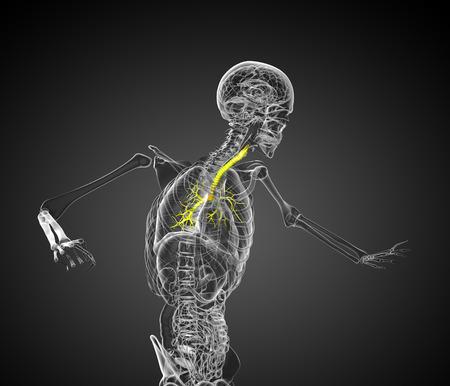 lung bronchus: 3d render medical 3d illustration of the bronchi  - side view