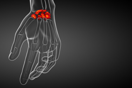 proximal: 3d rendered illustration of the human carpal bones - front view