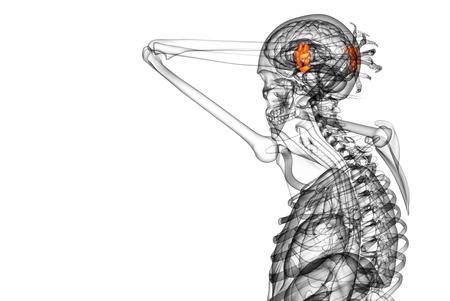 distal: Illustrazione di rendering 3D delle ossa carpali umani - vista laterale
