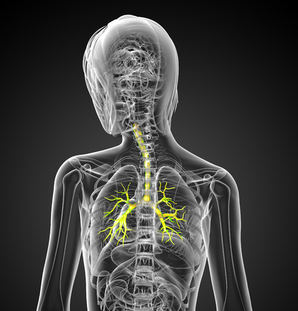 respire: 3D medical illustration of the male bronchi - back view