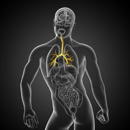 bronchi: Ilustraci�n m�dica en 3D de los bronquios masculinos - vista posterior Foto de archivo