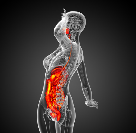 bellyache: 3d render medical illustration of the human digestive system - side view Stock Photo
