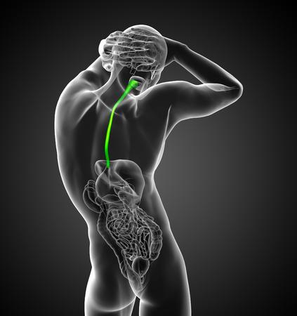 esófago: 3d ilustración médica del esófago - vista posterior