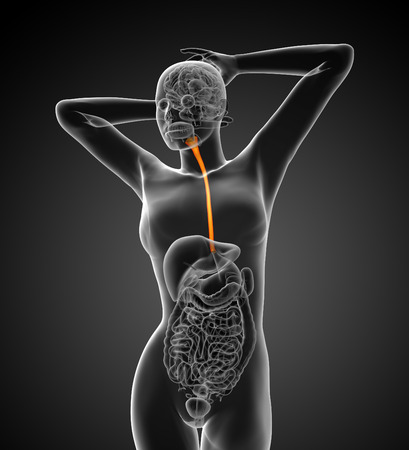 gullet: 3d rendered illustration of the esophagus - front view