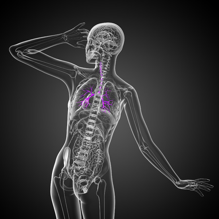 bronchi: 3D medical illustration of the male bronchi - back view