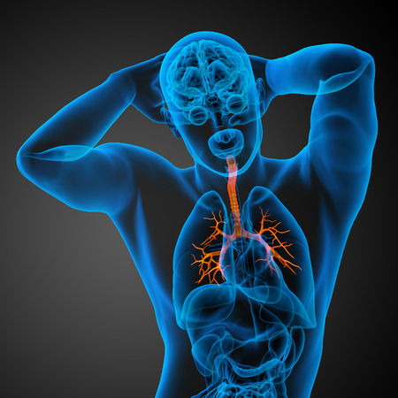 bronchi: Ilustraci�n m�dica en 3D de los bronquios masculinos - vista frontal