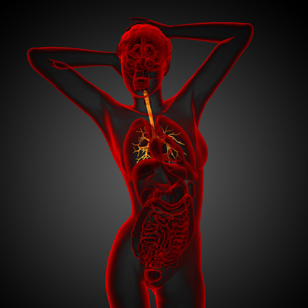 lobes: 3D medical illustration of the male bronchi - front view