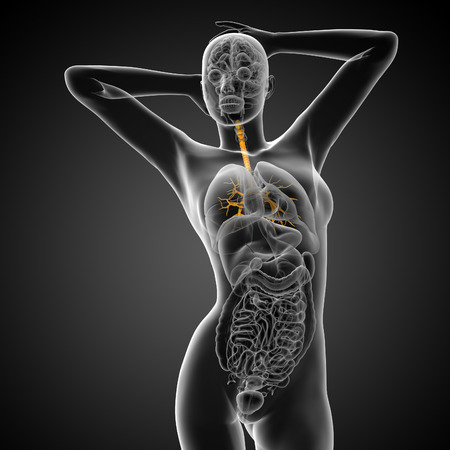 bronchi: 3D medical illustration of the male bronchi - front view
