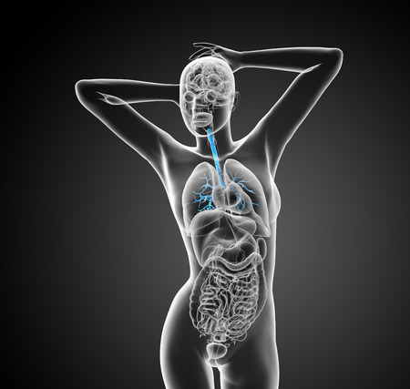 bronchiolar: 3D medical illustration of the male bronchi - front view