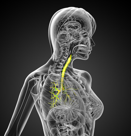 respire: 3D medical illustration of the male bronchi - side view Stock Photo
