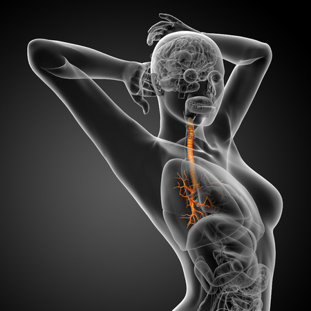 physiology: 3D medical illustration of the male bronchi - side view Stock Photo