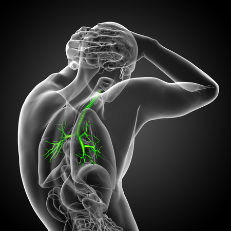 bronchi: 3D medical illustration of the male bronchi - side view Stock Photo