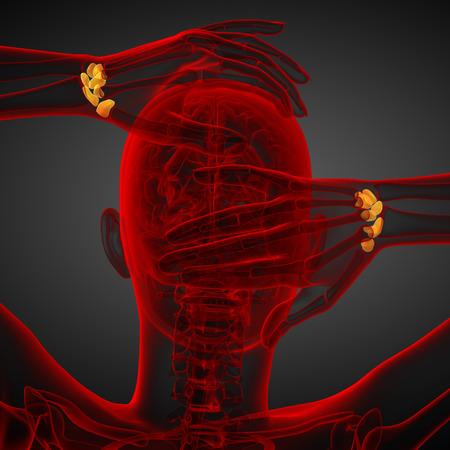 distal: 3d rendered illustration of the human carpal bones - back view