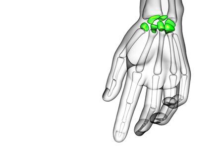 distal: 3d rindi� la ilustraci�n de los huesos del carpo humanos - vista frontal