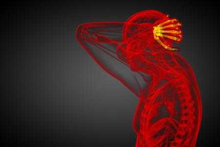 distal: Illustrazione di rendering 3D delle ossa Handl umani - vista laterale