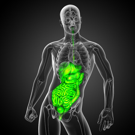 bellyache: 3d render medical illustration of the human digestive system - front view