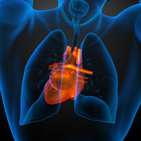 corazon humano: 3d rindi� la ilustraci�n m�dica de un coraz�n humano - vista posterior