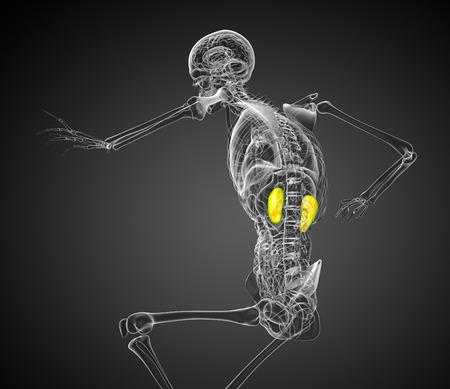 uretra: 3d rindió la ilustración de los riñones - vista lateral Foto de archivo