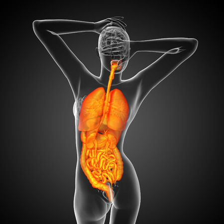 lung bronchus: 3d render medical illustration of the human digestive system and respiratory system - back view Stock Photo