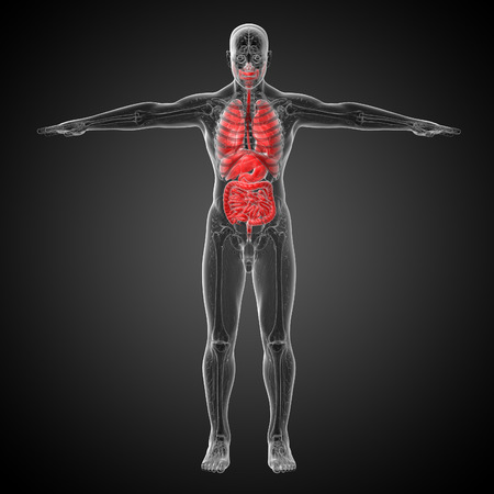 lung bronchus: 3d render medical illustration of the human digestive system and respiratory system - front view Stock Photo