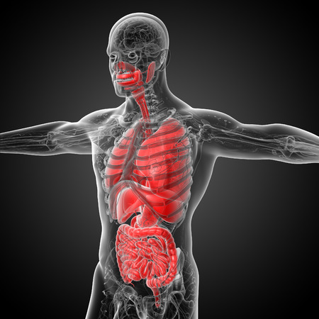 lung bronchus: 3d render medical illustration of the human digestive system and respiratory system - side view
