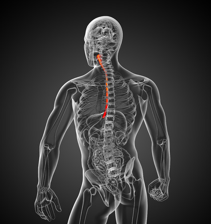 gullet: 3d rendered illustration of the esophagus - back view Stock Photo