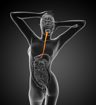 esophagus: 3d rendered illustration of the esophagus - back view Stock Photo