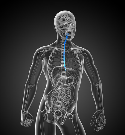 esophagus: 3d rendered illustration of the esophagus - front view