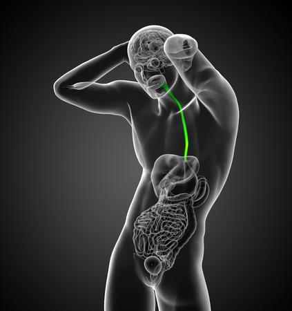 esófago: 3d ilustración médica del esófago - vista frontal