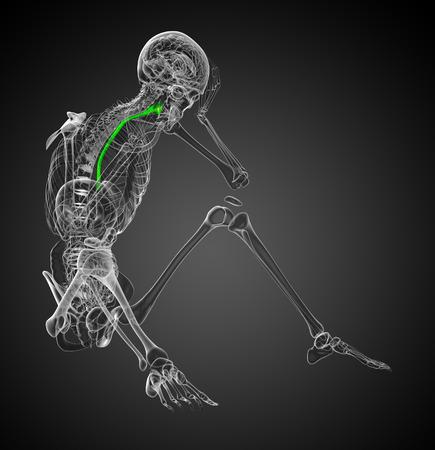esófago: 3d rindió la ilustración del esófago - vista lateral