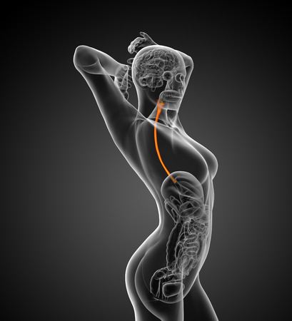 gullet: 3d rendered illustration of the esophagus - side view