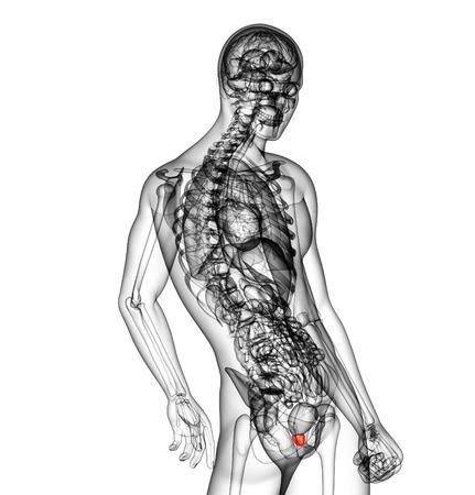 genitali: 3D rendering illustrazione medica della prostata - vista laterale