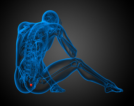 uretra: 3d ilustración de la próstata humana - vista posterior